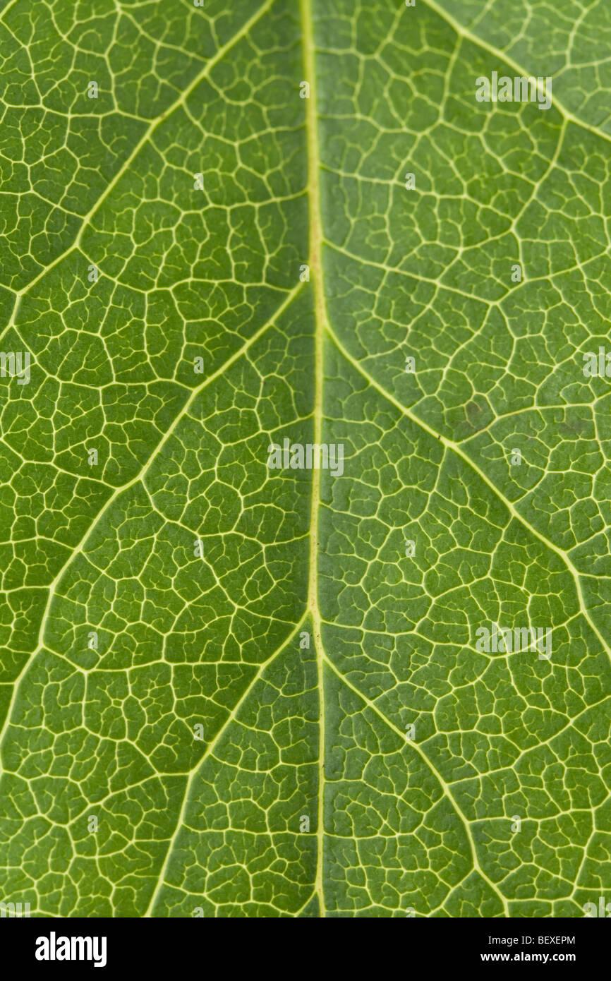 Green Leaf Vein close up shot for background - Stock Image