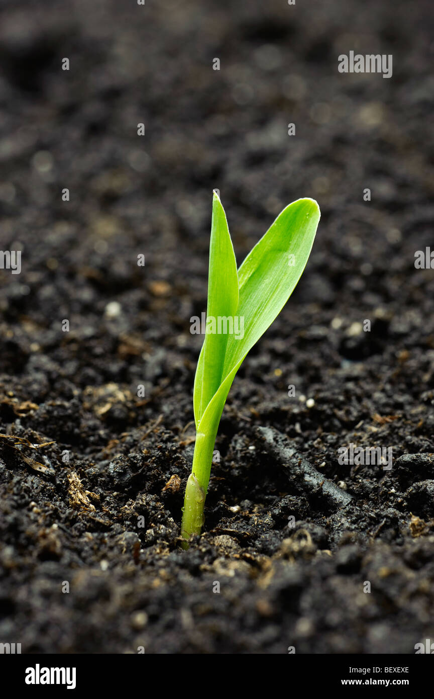 Agriculture - A corn seedling emerges from the soil in early morning light / Iowa, USA. Stock Photo