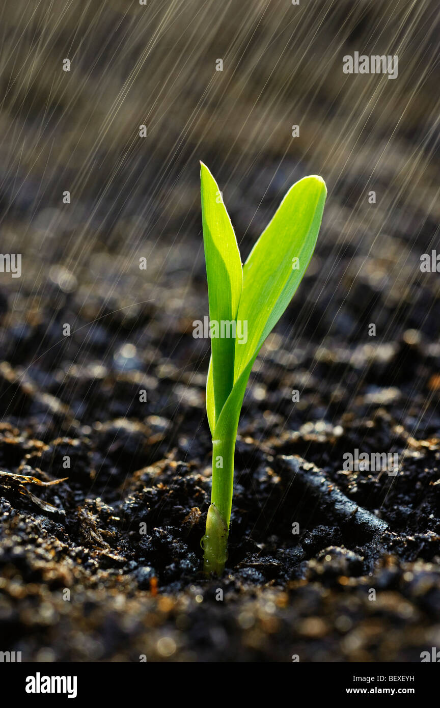 Agriculture - A corn seedling emerges from the soil in a Spring rainstorm / Iowa, USA. - Stock Image