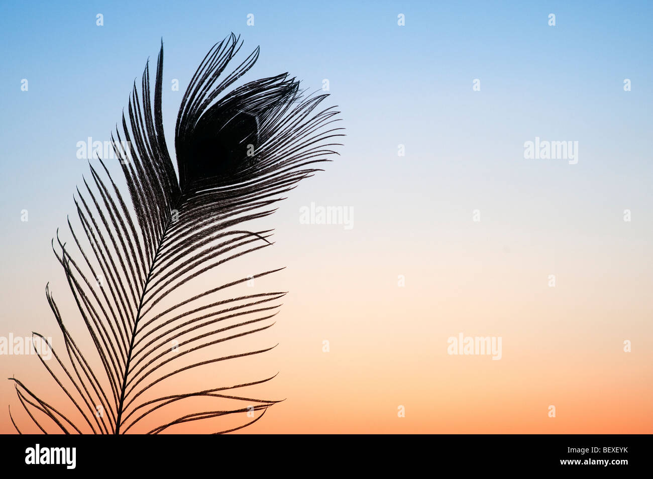 Silhouette peacock feather against a dawn sunrise in India - Stock Image