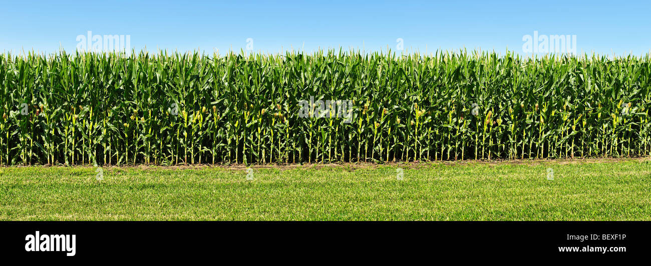 Agriculture - Sideview of a stand of mid growth grain corn, fully tasseled with developing ears / Iowa, USA. - Stock Image