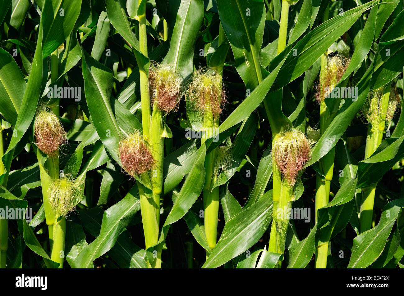 Agriculture - Closeup of immature grain corn ears on the stalks in mid Summer / Iowa, USA. - Stock Image