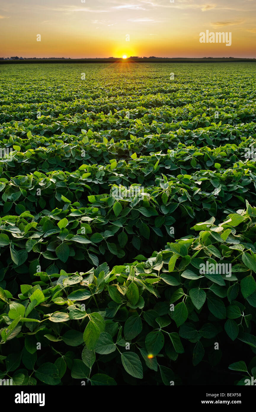 Healthy Mid Growth Soybean Crop In Mid