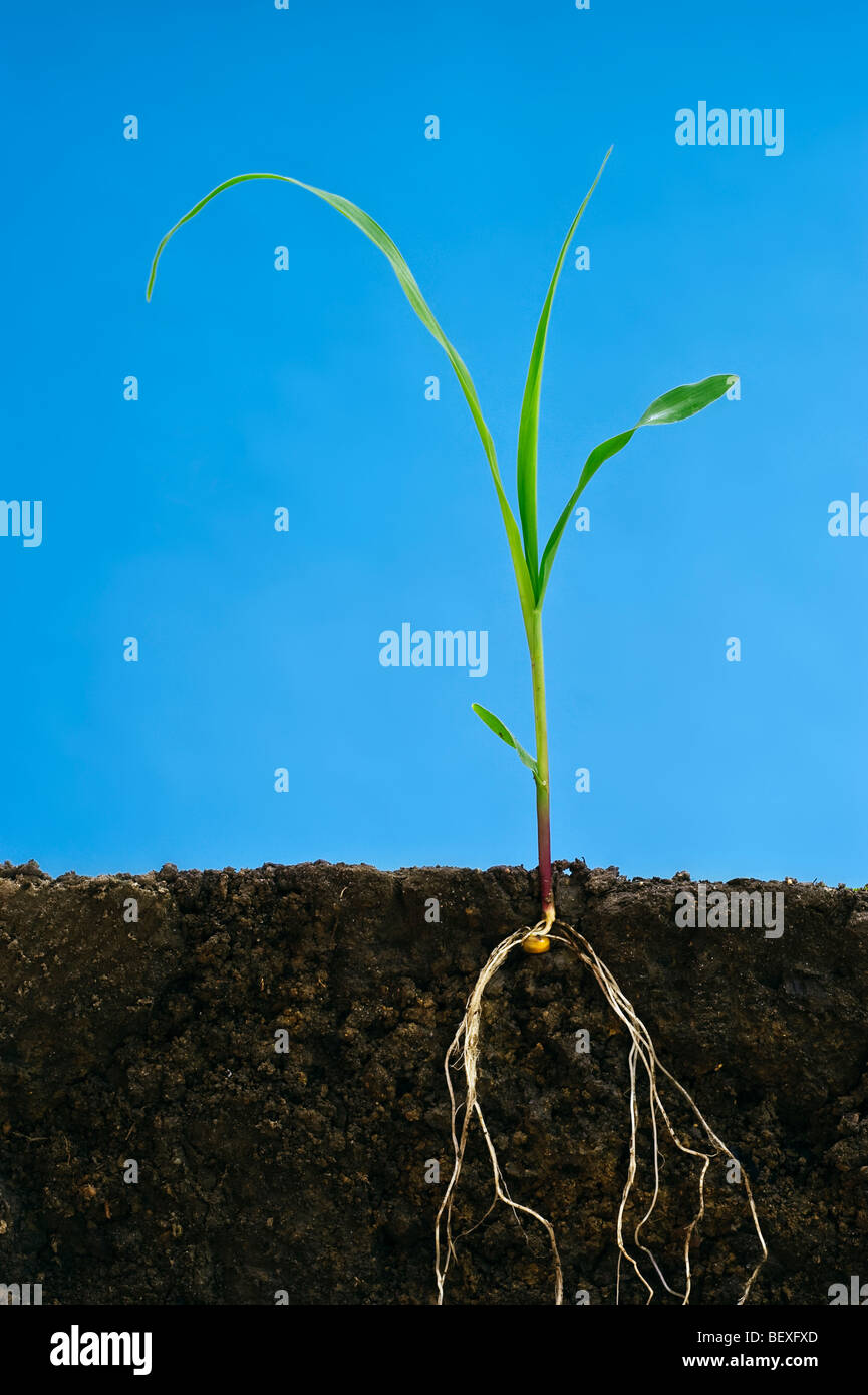Agriculture - Early growth grain corn plant at the three-leaf stage showing the root structure / Iowa, USA. - Stock Image