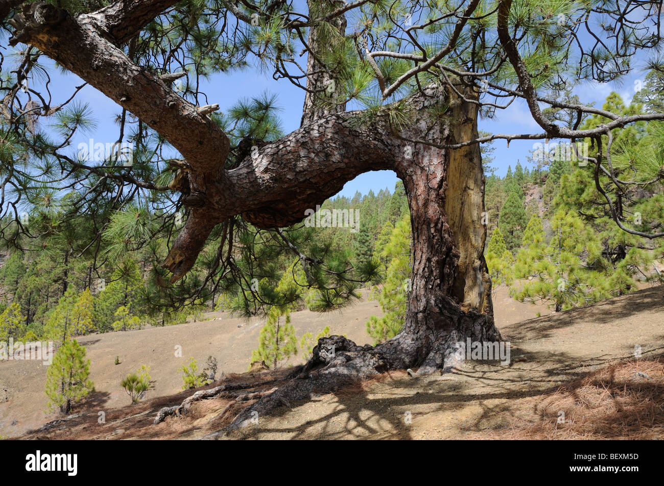 Weird pine tree in the forest. - Stock Image