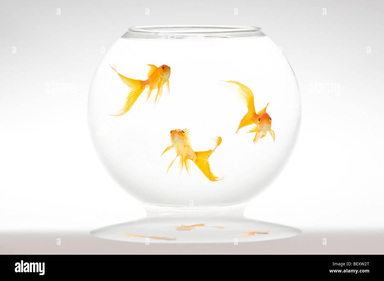 Three fantail goldfish (Carassius auratus) in a bowl. Stock Photo
