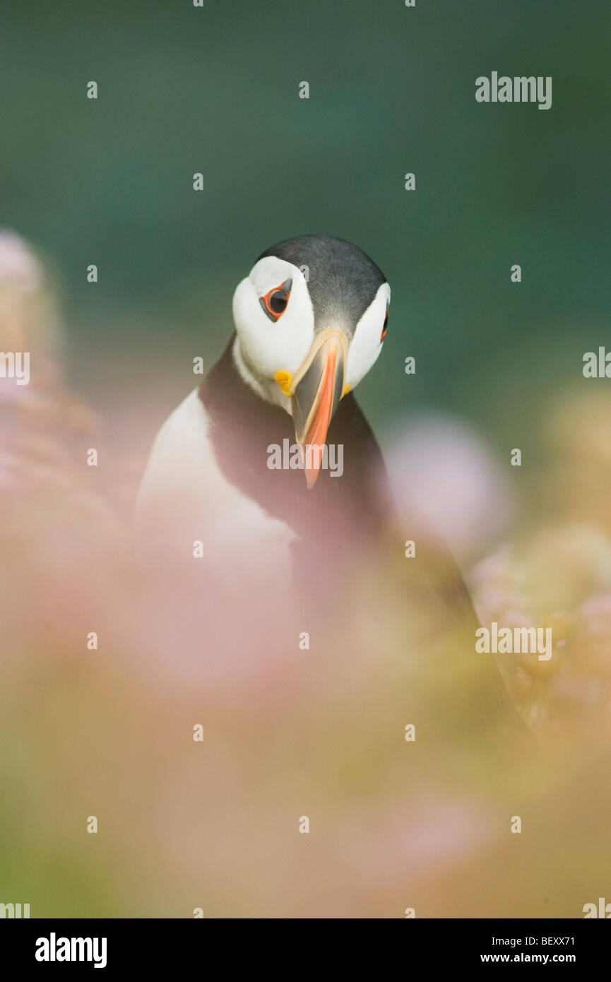 Atlantic Puffin (Fratercula arctica) in wildflowers, Saltee Islands, County Wexford, Ireland - Stock Image