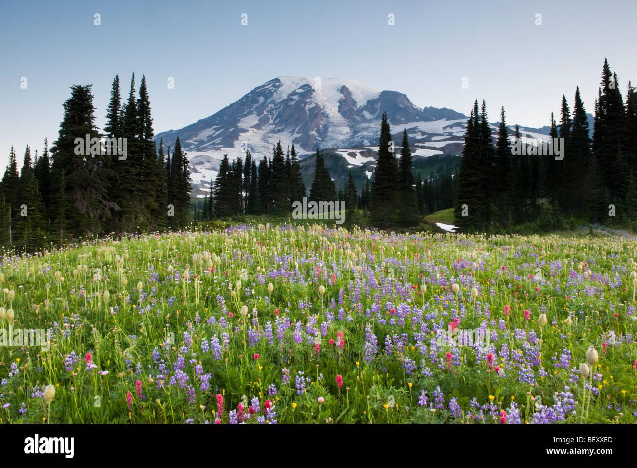 Summer Wildflowers, Paradise Area, Mount Rainier National Park, Washington JULY - Stock Image