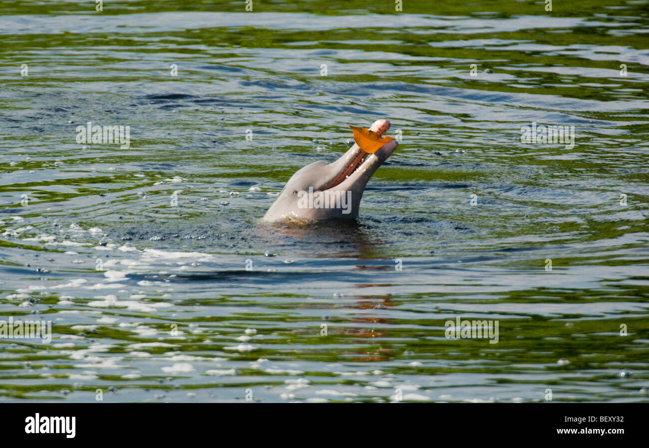 Amazon River Dolphin (Inia geoffrensis) Playing with floating leaf, Ariau River, tributary of Rio Negro,  Amazonia, Stock Photo