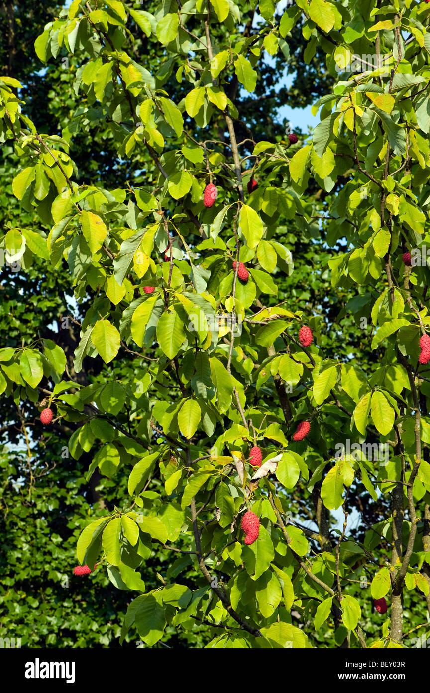 Magnoliaceae MAGNOLIA OBOVATA thunberg s.o asia fruit Magnolie AUTUMN seedhead seed head red pink rose orange sticky - Stock Image