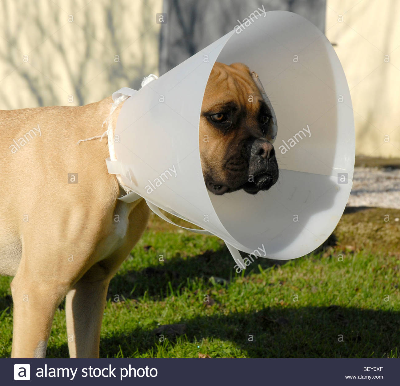 boxer with elizabethan collar - Stock Image