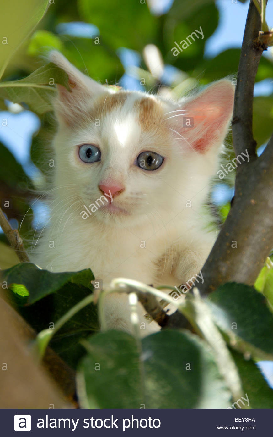 707ad2ac6f turkish van cat Stock Photo  26411094 - Alamy