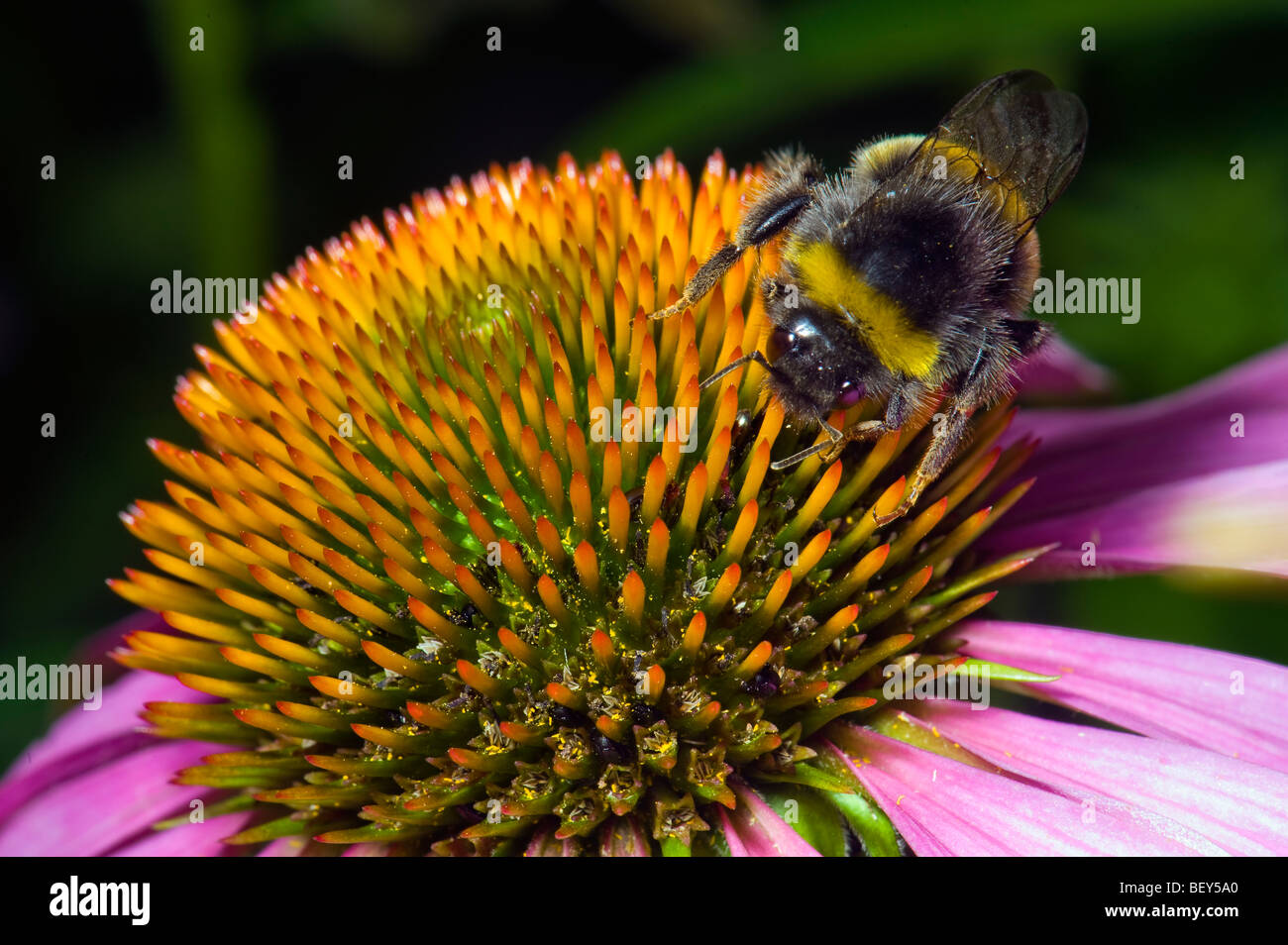 Echinacea purpurea flower flowering Bumble bee bumble-bee bumblebee fly insect animal Red Coneflower eastern purple Stock Photo