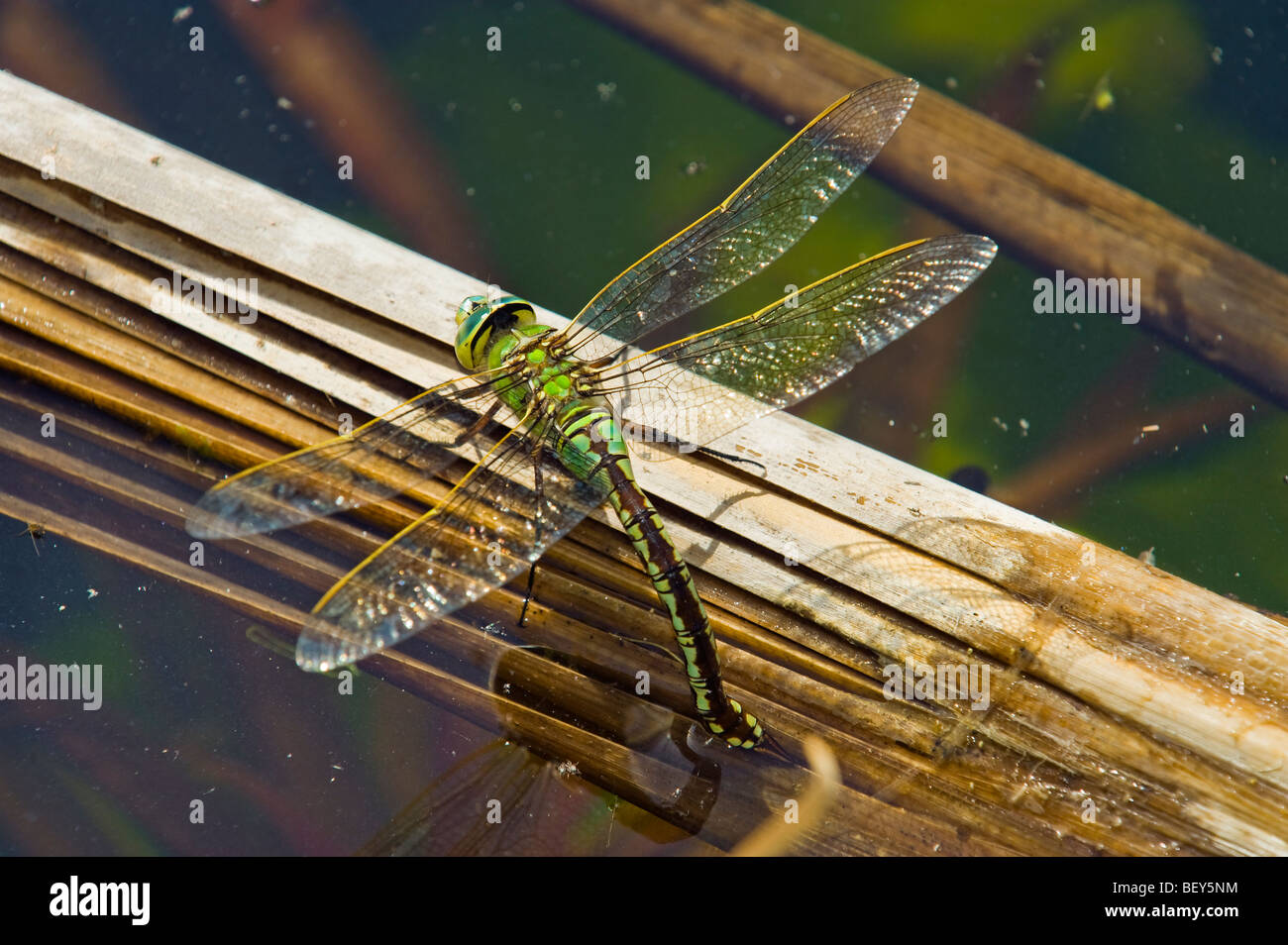 green blue brown dragon fly dragonfly reproduction eggs laying in water plant big dragon fly egg dragonfly sitting - Stock Image
