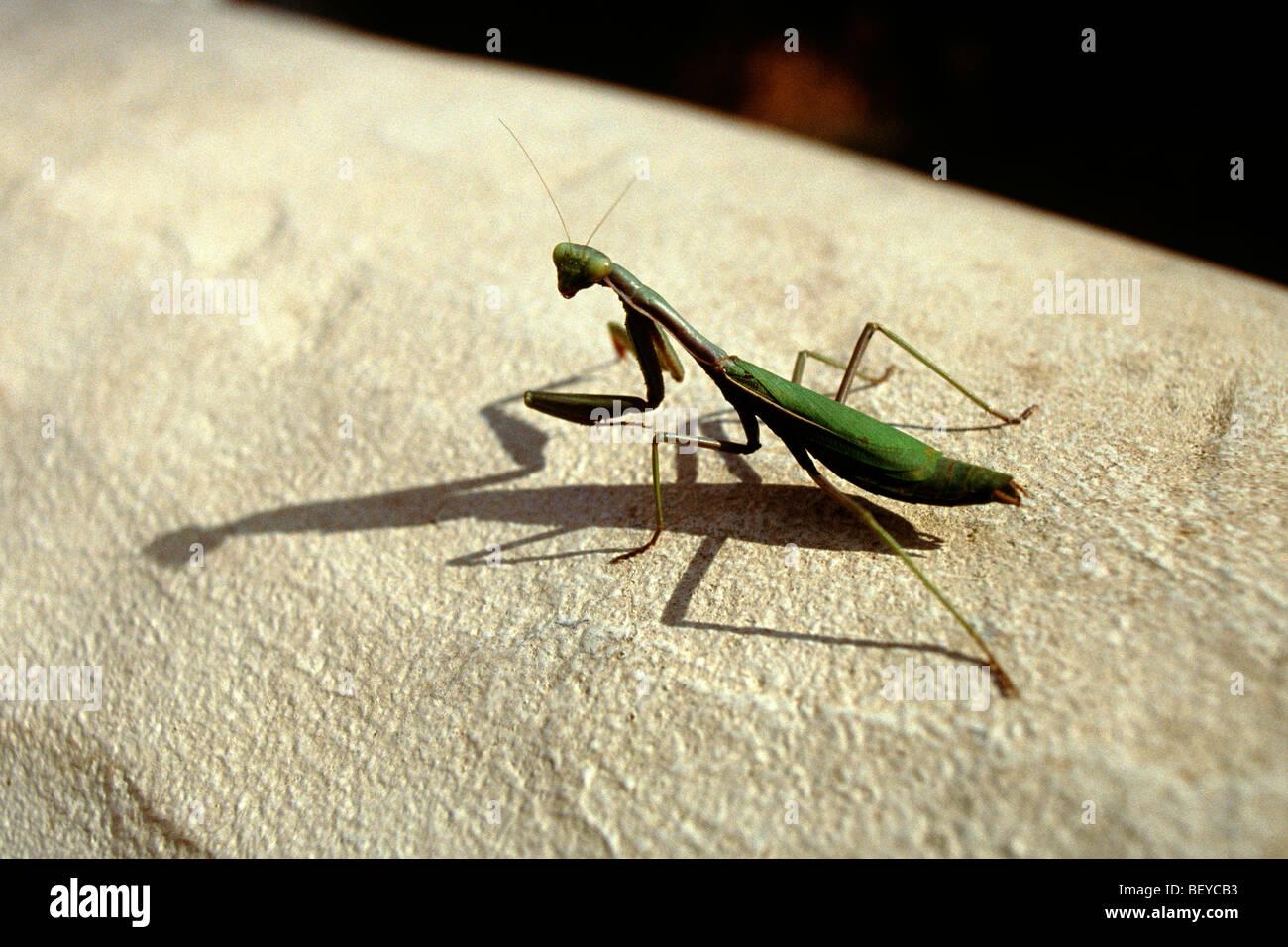 Giant African Praying Mantis Stock Photo