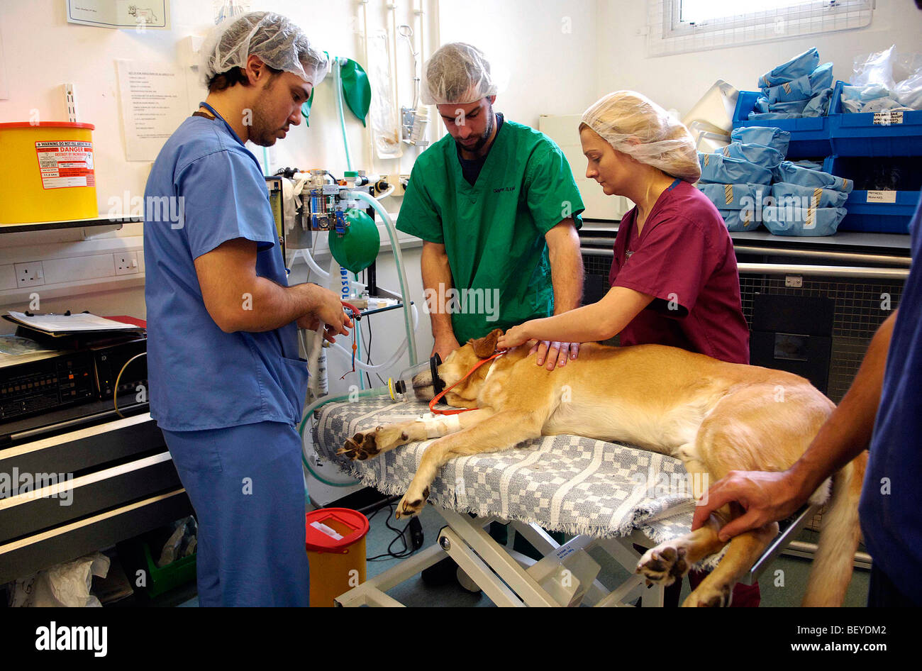 Dogs get treated at the University of Glasgow Small Animal Hospital in Bearsden, near Glasgow, Scotland - Stock Image