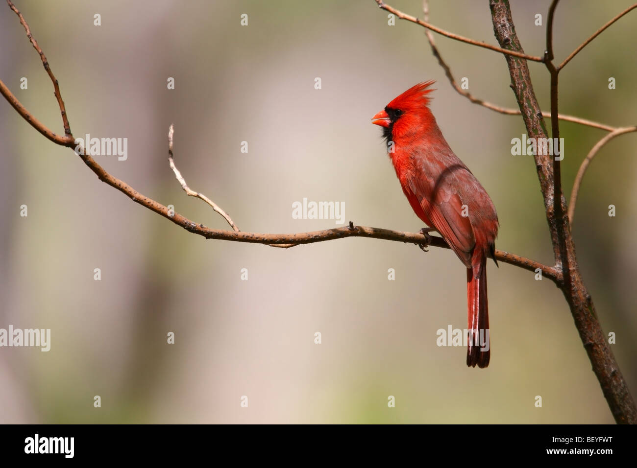 Northern Cardinal (Cardinalis cardinalis cardinalis), male singing on an open branch. - Stock Image