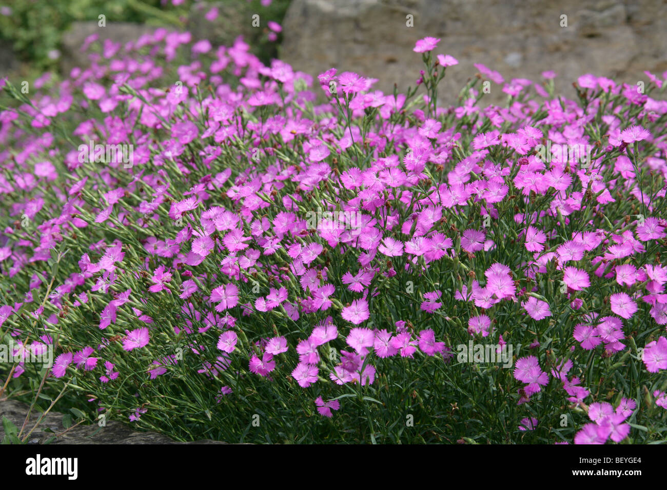 Ragged Pink or Sequier's Pink, Dianthus seguieri, Caryophyllaceae, South West Europe, Temperate Asia - Stock Image