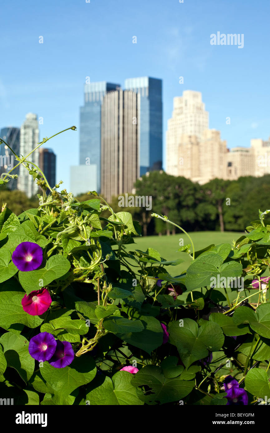Warm summer day in front of the morning glories at Sheep Head meadow in Central Park, New York City - Stock Image
