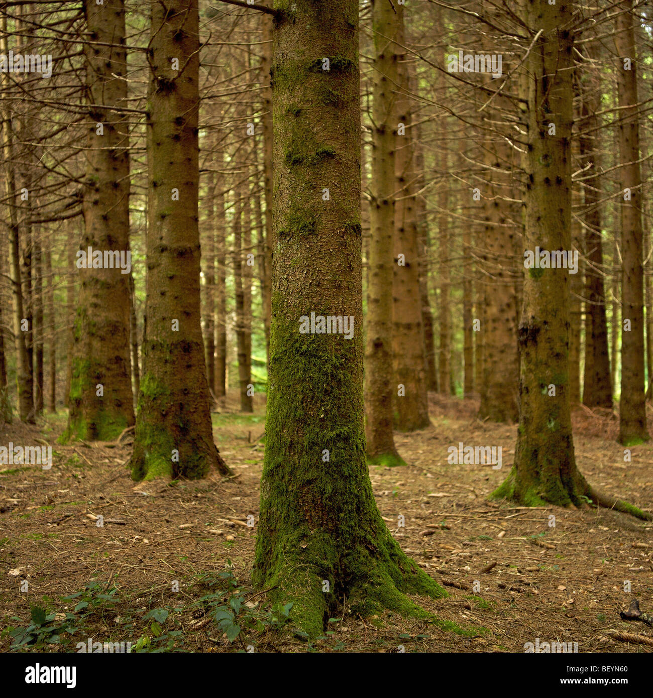 Trees in a forest of fir trees - Stock Image