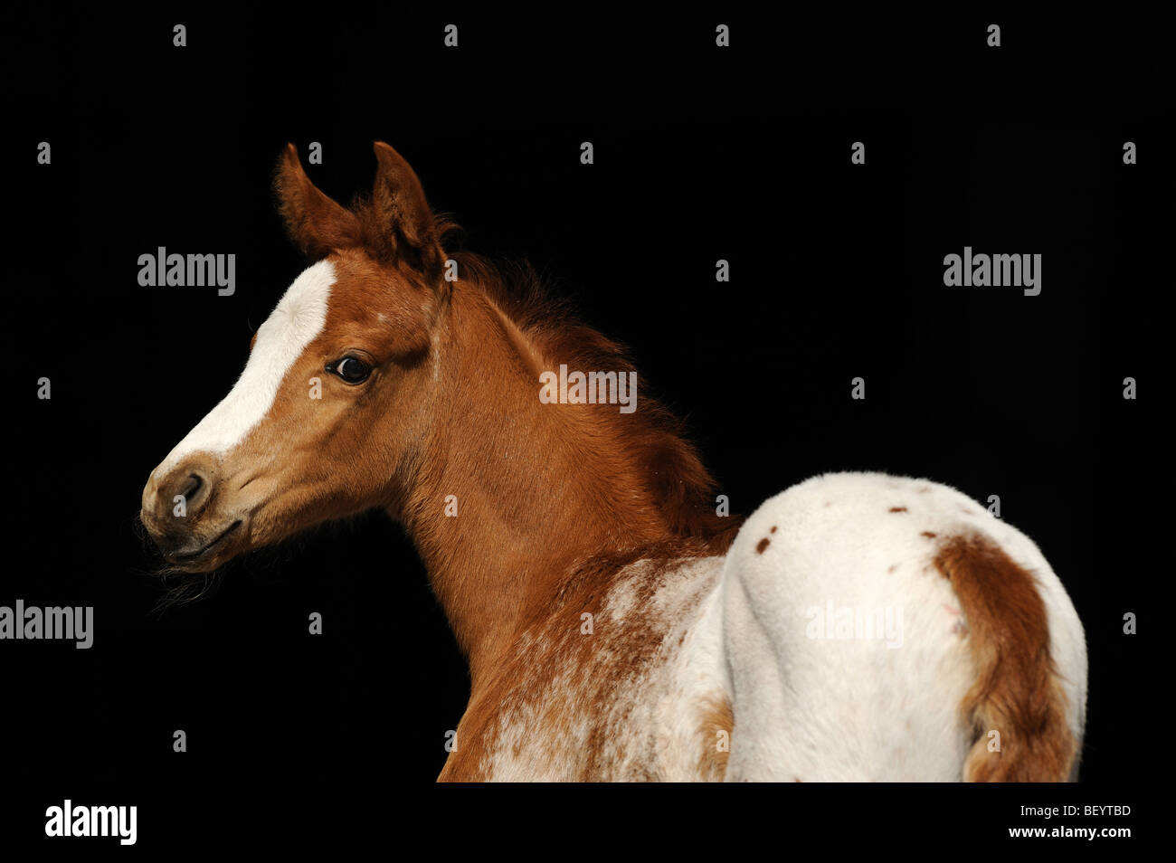 AraAppaloosa Horse (Equus caballus), foal. This breed is a blend of Arabian and Appaloosa. - Stock Image