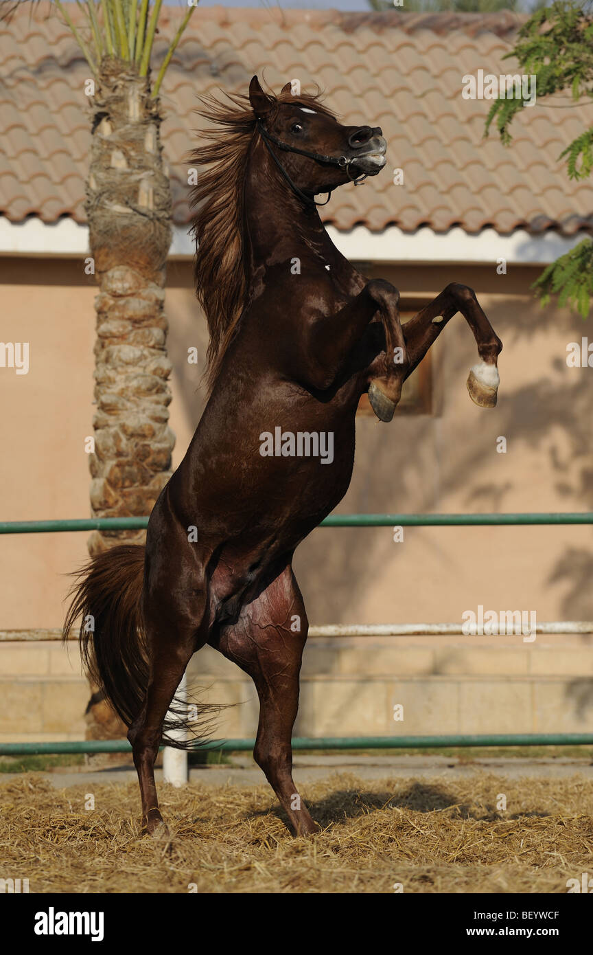 Arabian Horse (Equus caballus), rearing brown stallion. - Stock Image