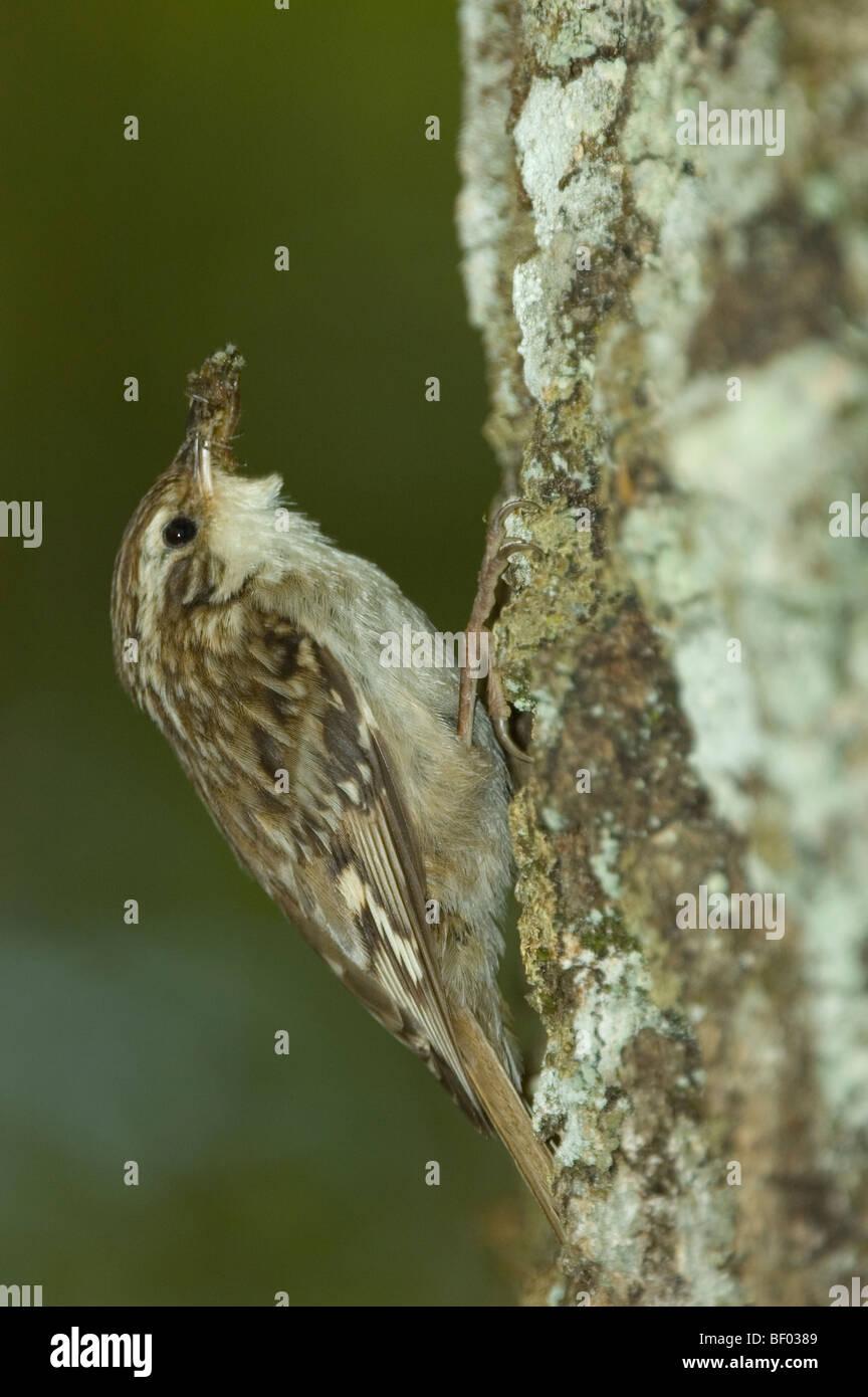 Short-toed Treecreeper (Certhia brachydactyla) - Stock Image