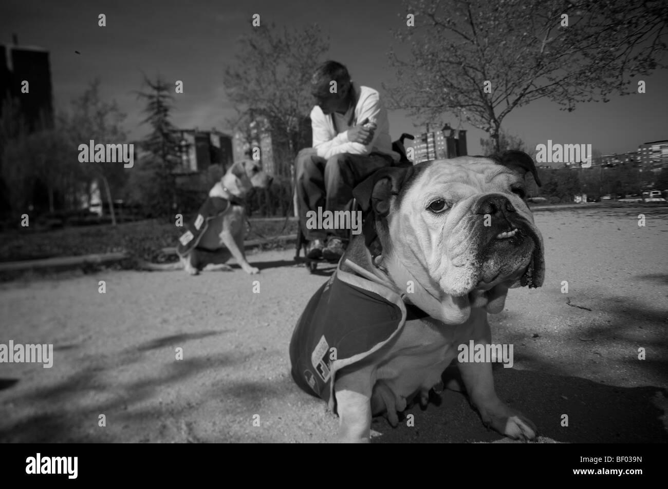 Wheelchair bound dog trainer - Stock Image