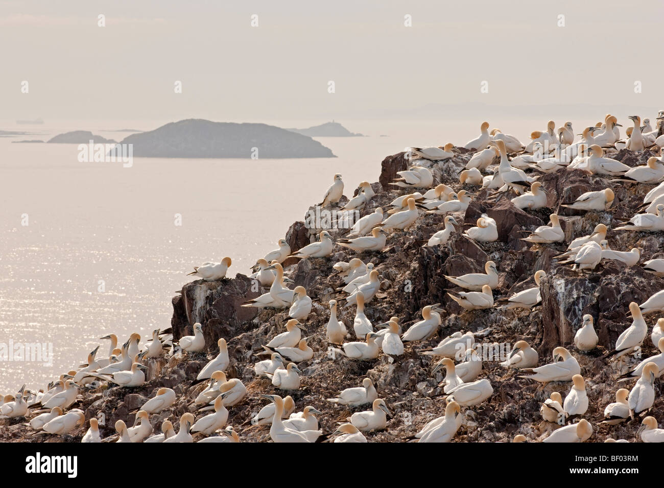 Bass Rock gannet colony in the late afternoon sunshine - Stock Image