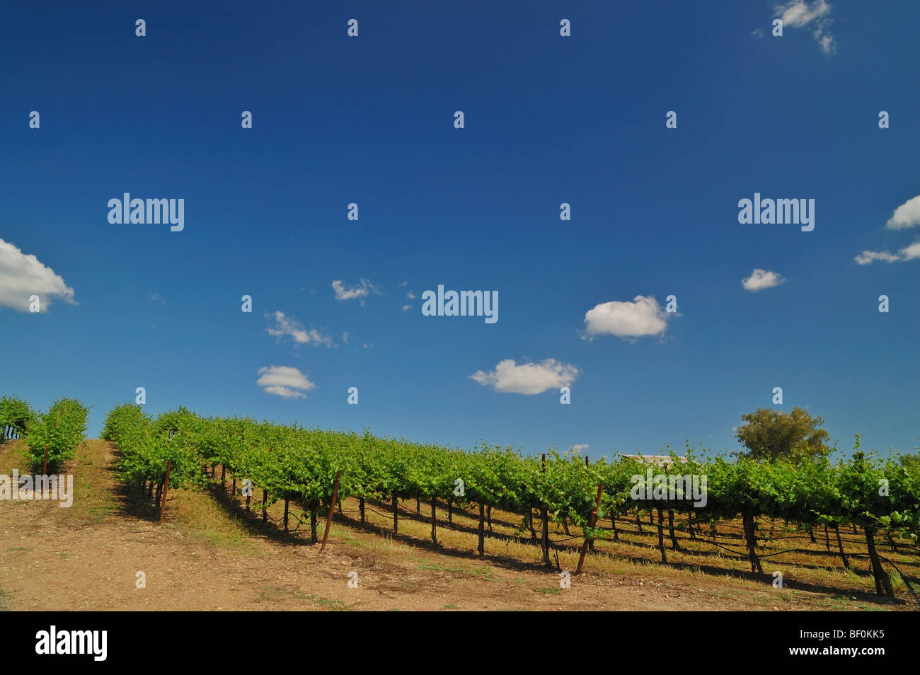 Vineyard in Central California near Sacramento Stock Photo