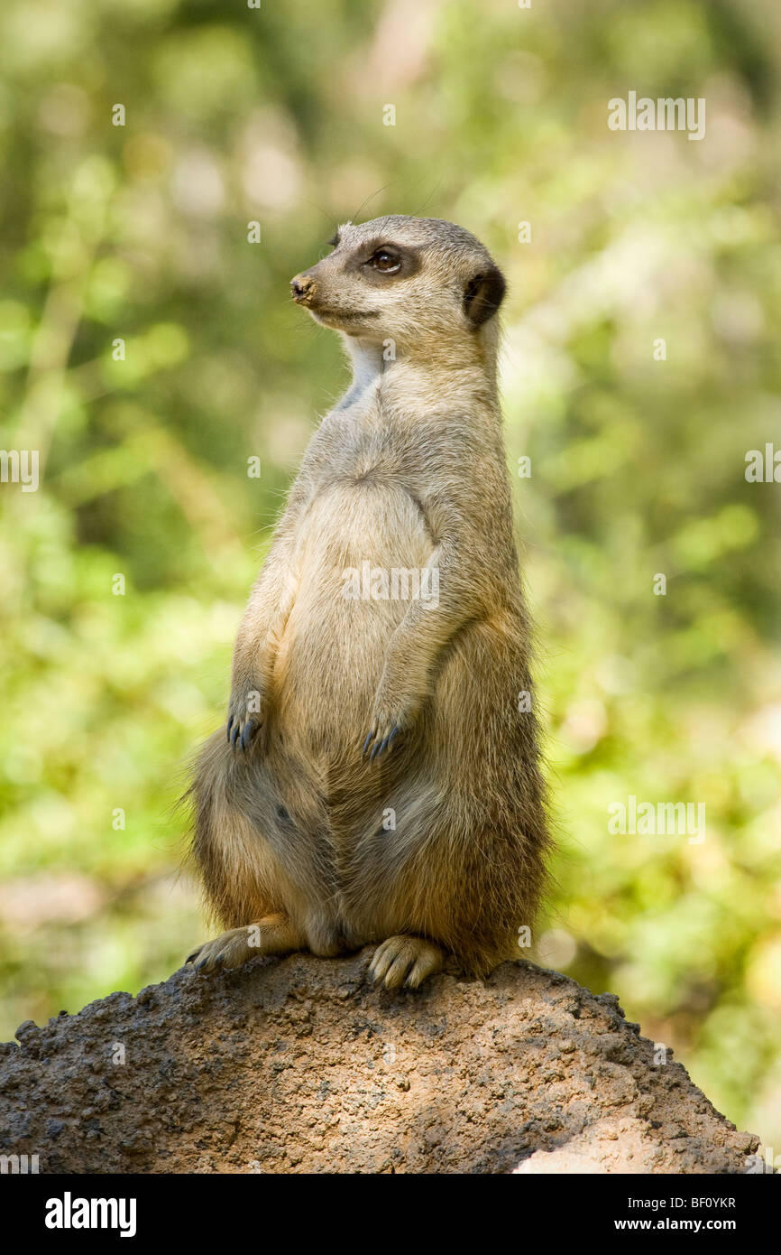 A 'fat' 'African' 'Meerkat' sitting on its 'hind legs' on a 'termite mound.' - Stock Image