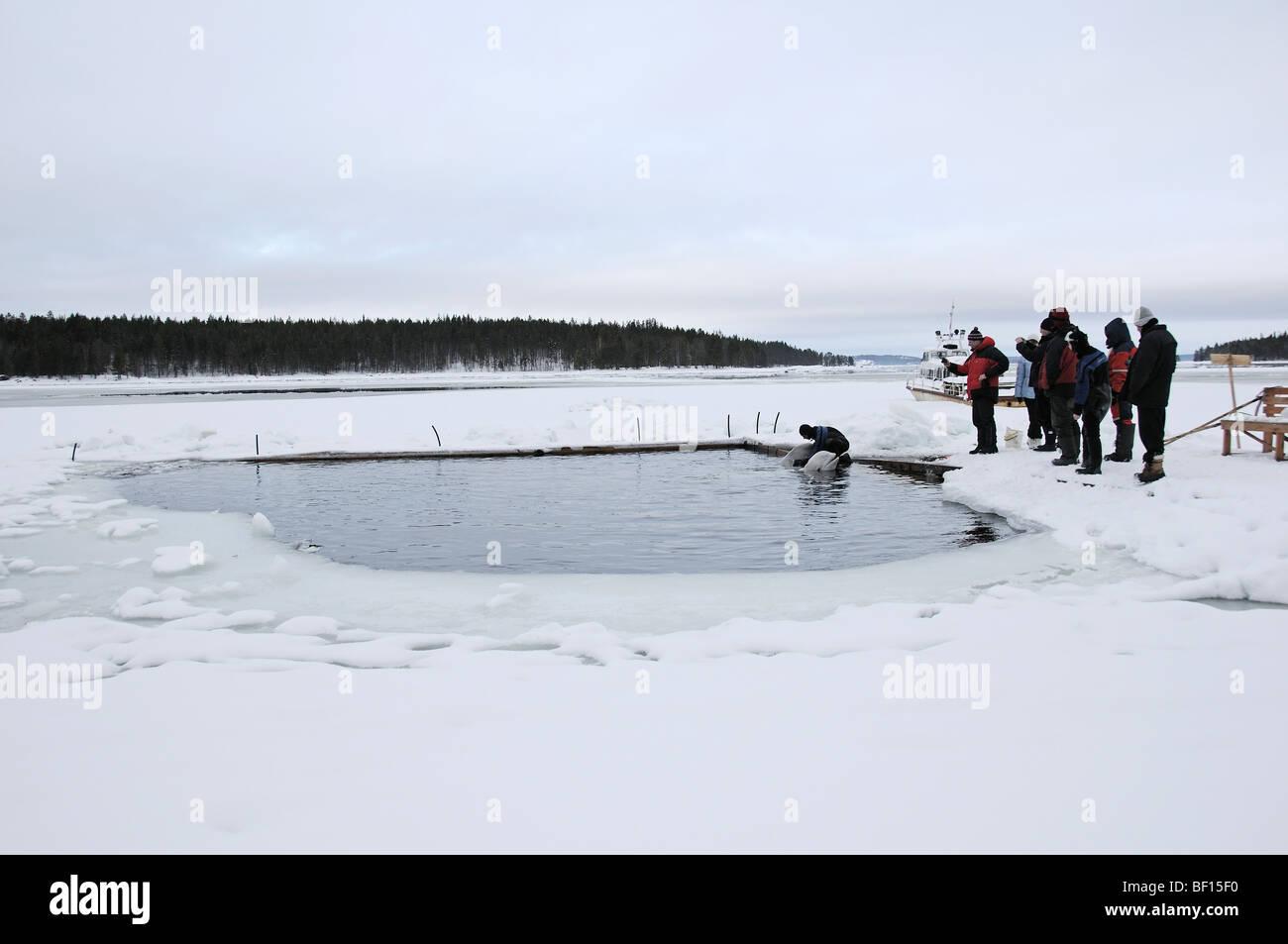 Delphinapterus leucas, White Whale, Beluga, Outdoor Delphinarium, belukha, Sea Canary, White Sea, Russia Stock Photo