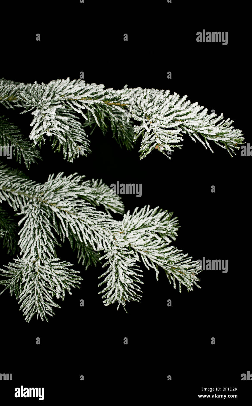 Snow-covered twig of a spruce, Denmark. - Stock Image
