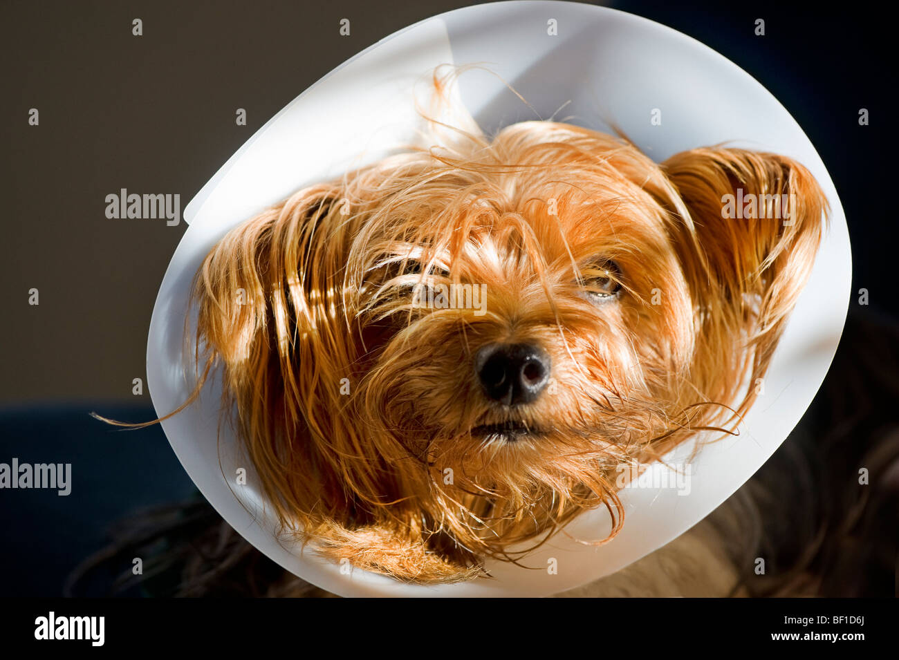 Dog with a Elizabethan collar, Sweden. - Stock Image