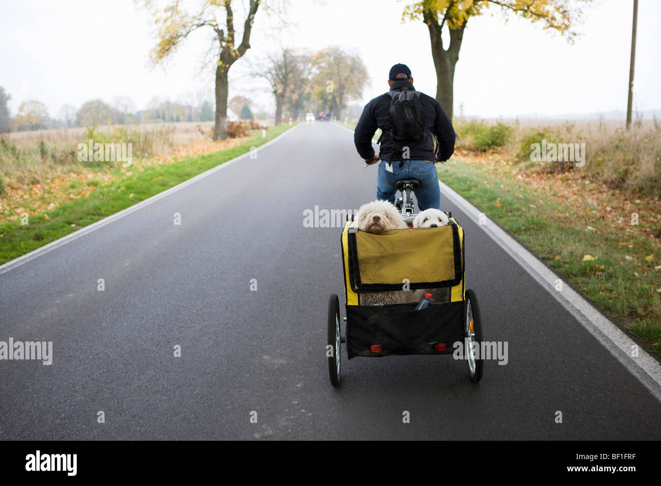A man on a bike pulling a trailer with two dogs - Stock Image