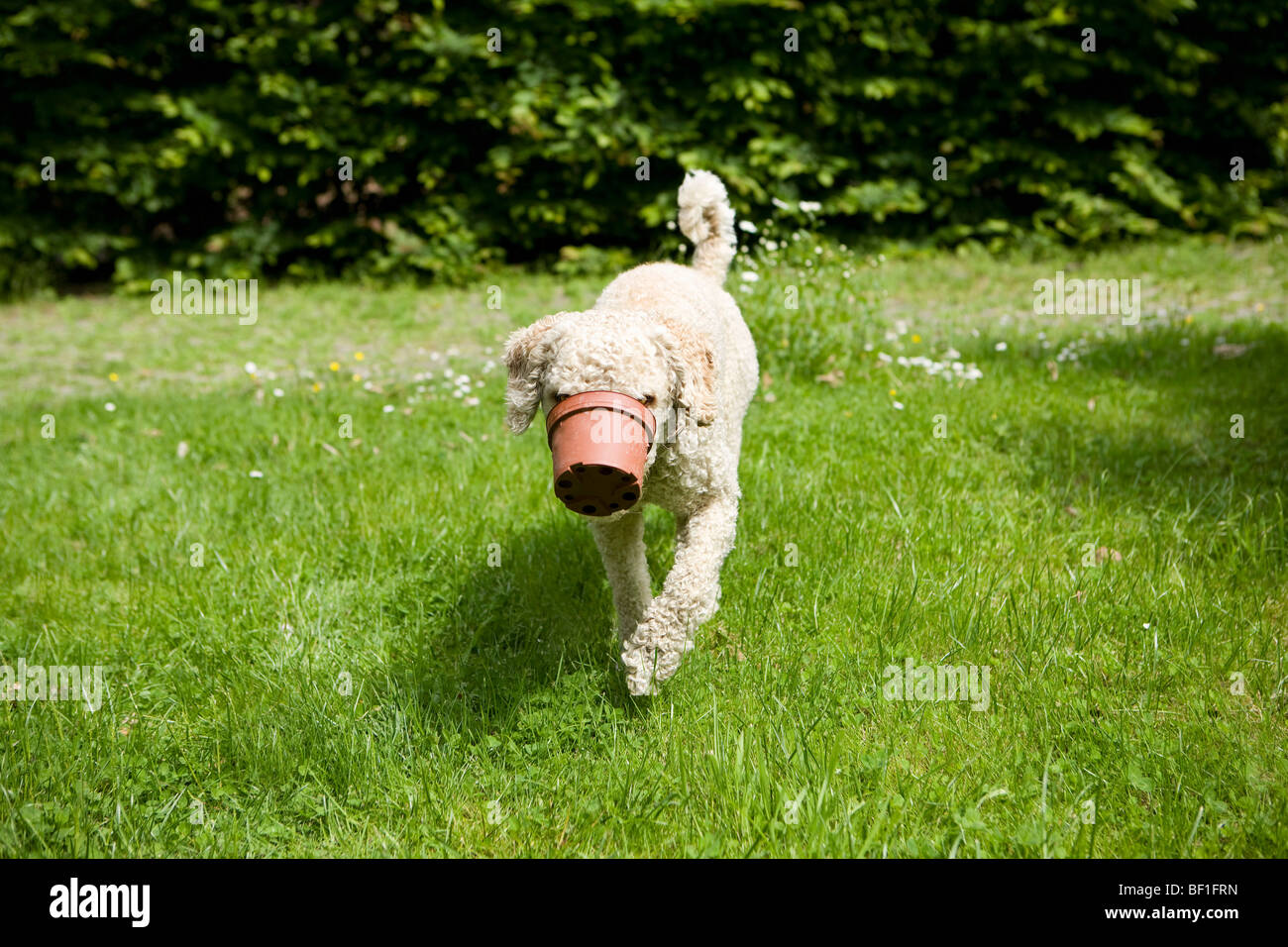 A dog walking with a flower pot stuck on his snout - Stock Image