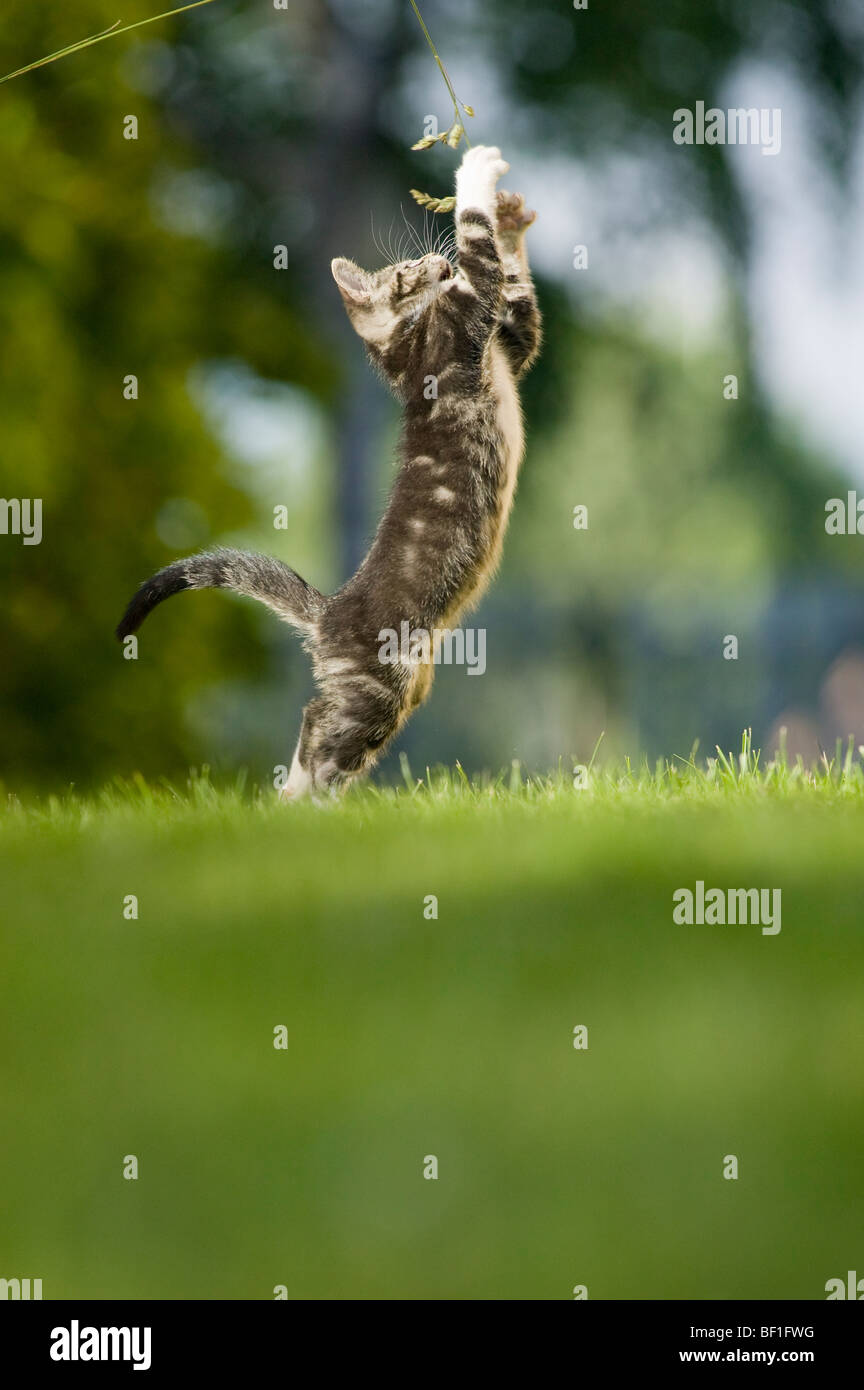 A kitten playing in the grass, Sweden. - Stock Image