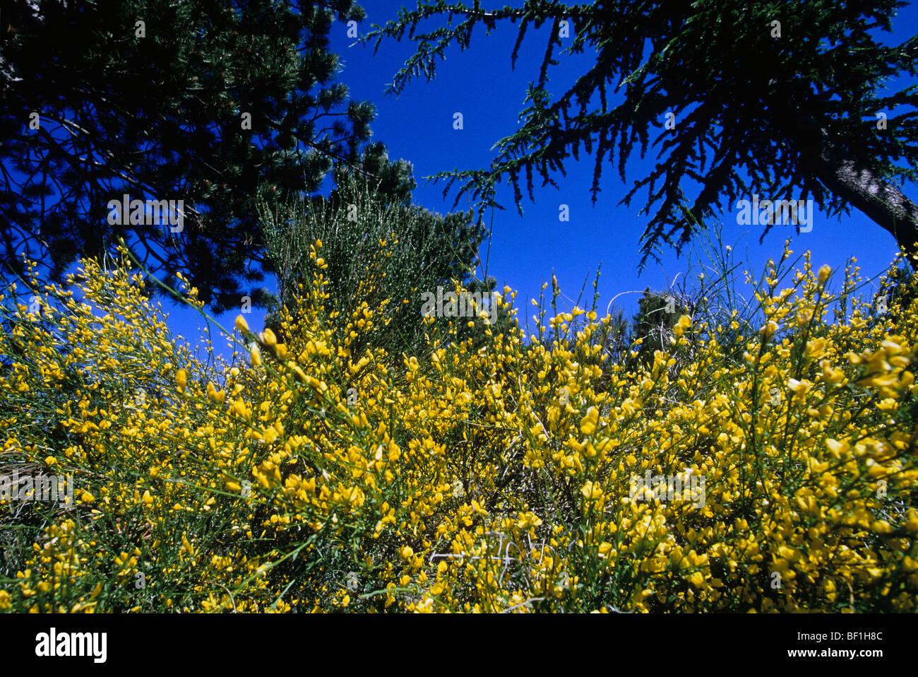Genista plant - Stock Image