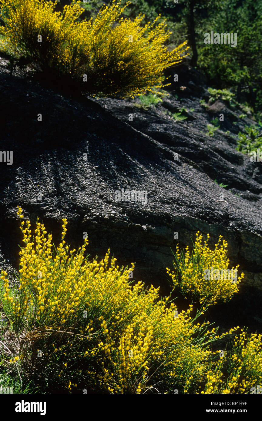 Genista plant growing up on a schist soil - Stock Image