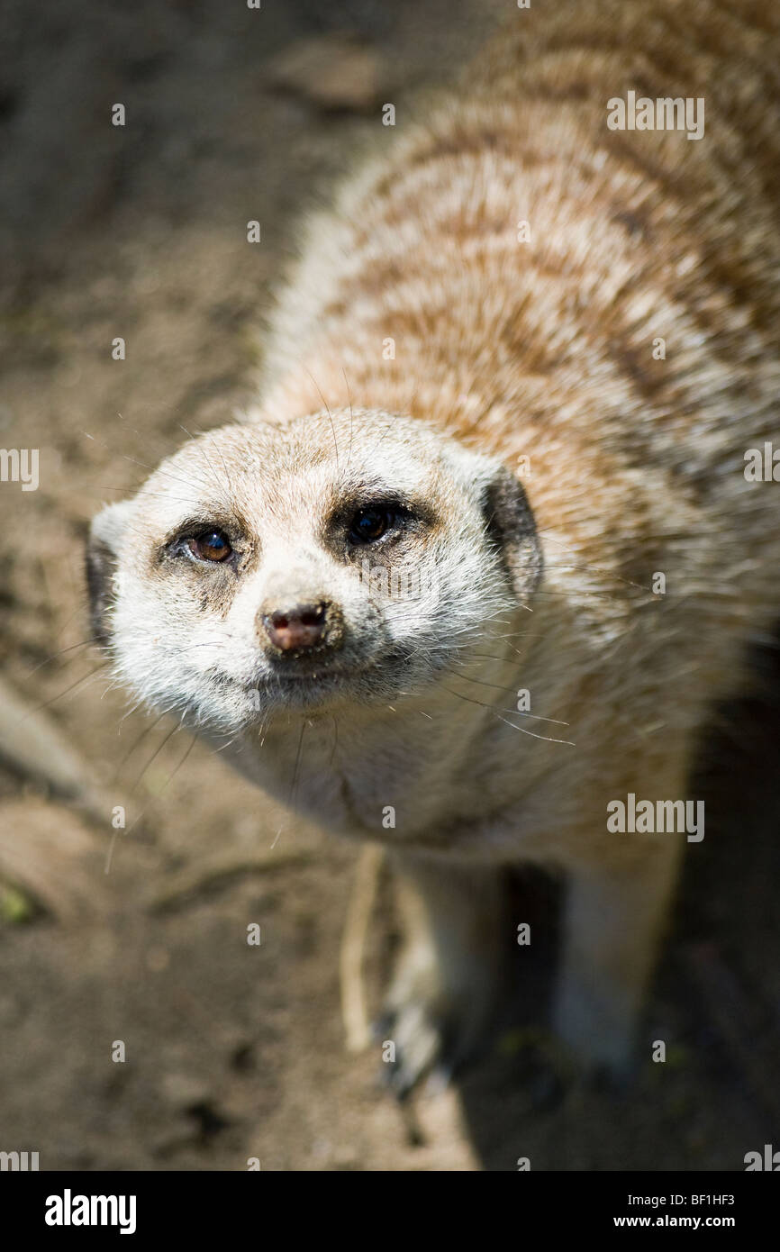 Looking down onto the 'face' of an 'African' 'Meerkat.' - Stock Image