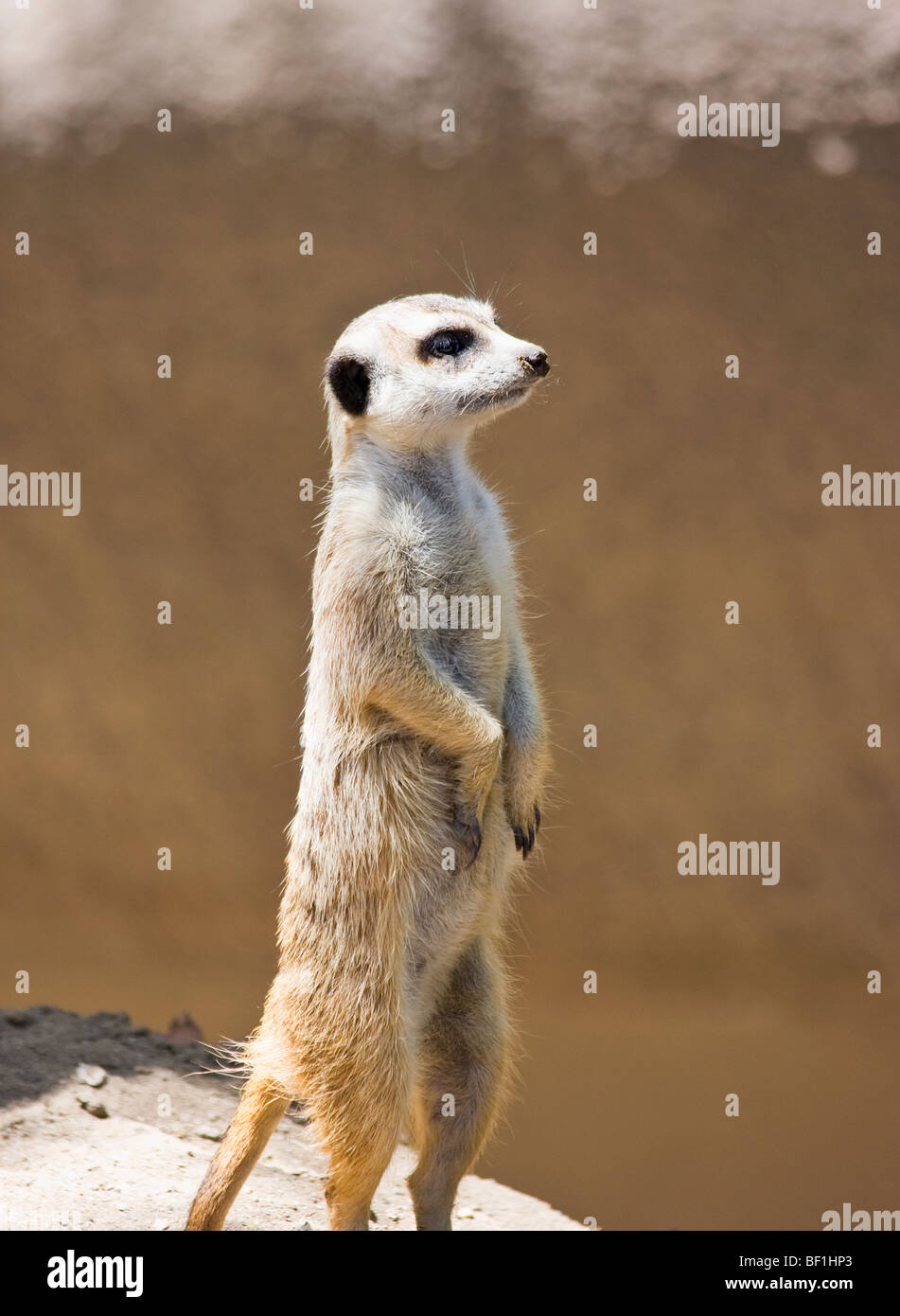 An 'African' 'Meerkat' 'standing tall' 'at attention' on its 'hind legs.' - Stock Image