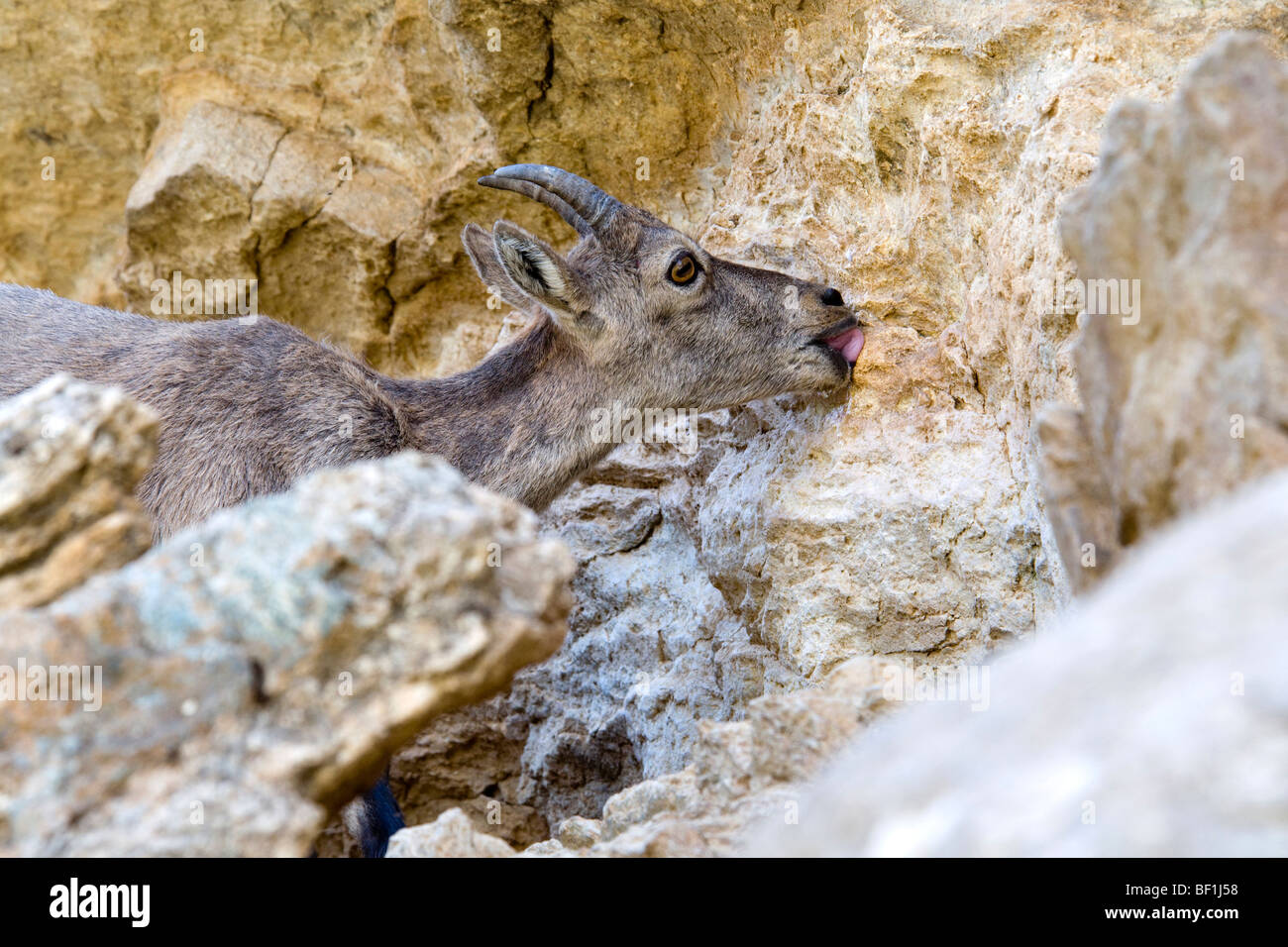 Capra ibex female tongue lingua salt stambecco femmina lecca sale minerale montagna mountain Cogne Parco Nazionale - Stock Image