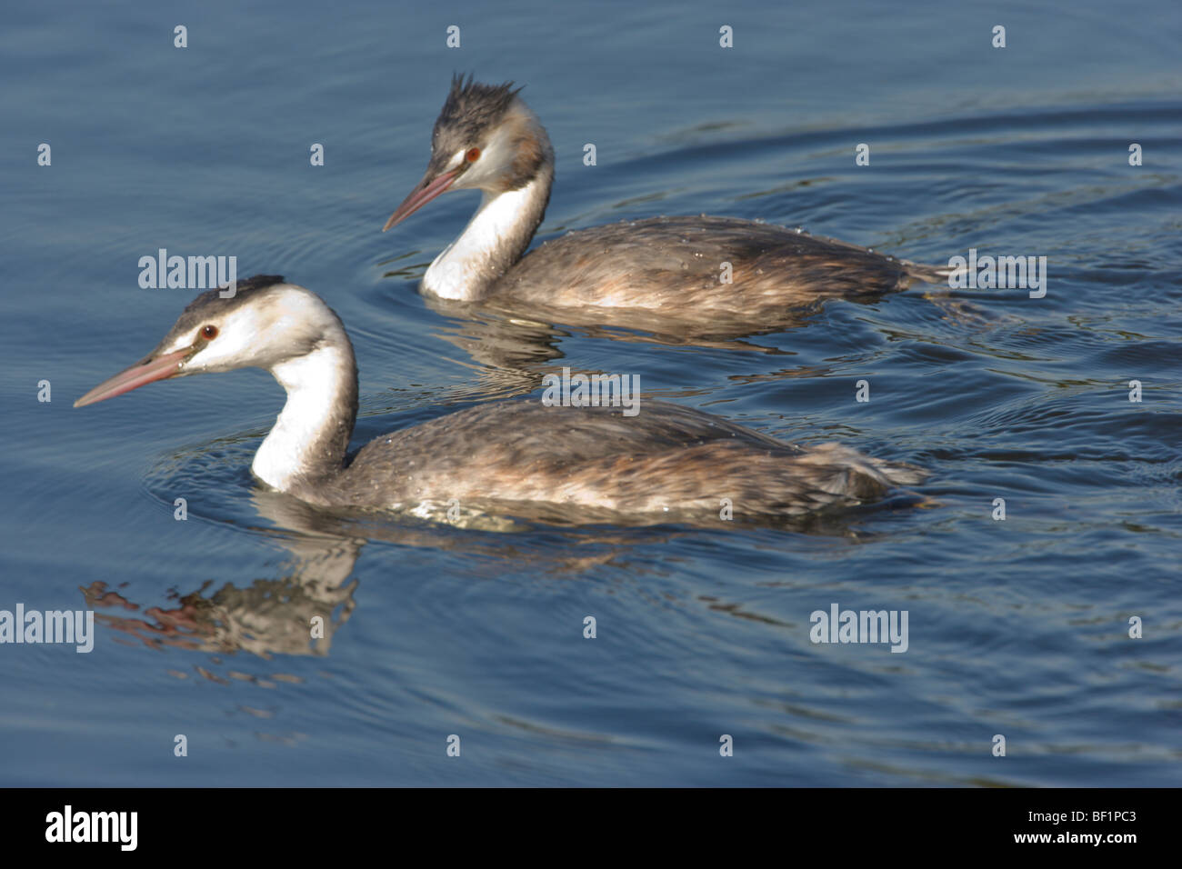 Two Great Crested Grebes, Podiceps cristatus, swimming together - Stock Image