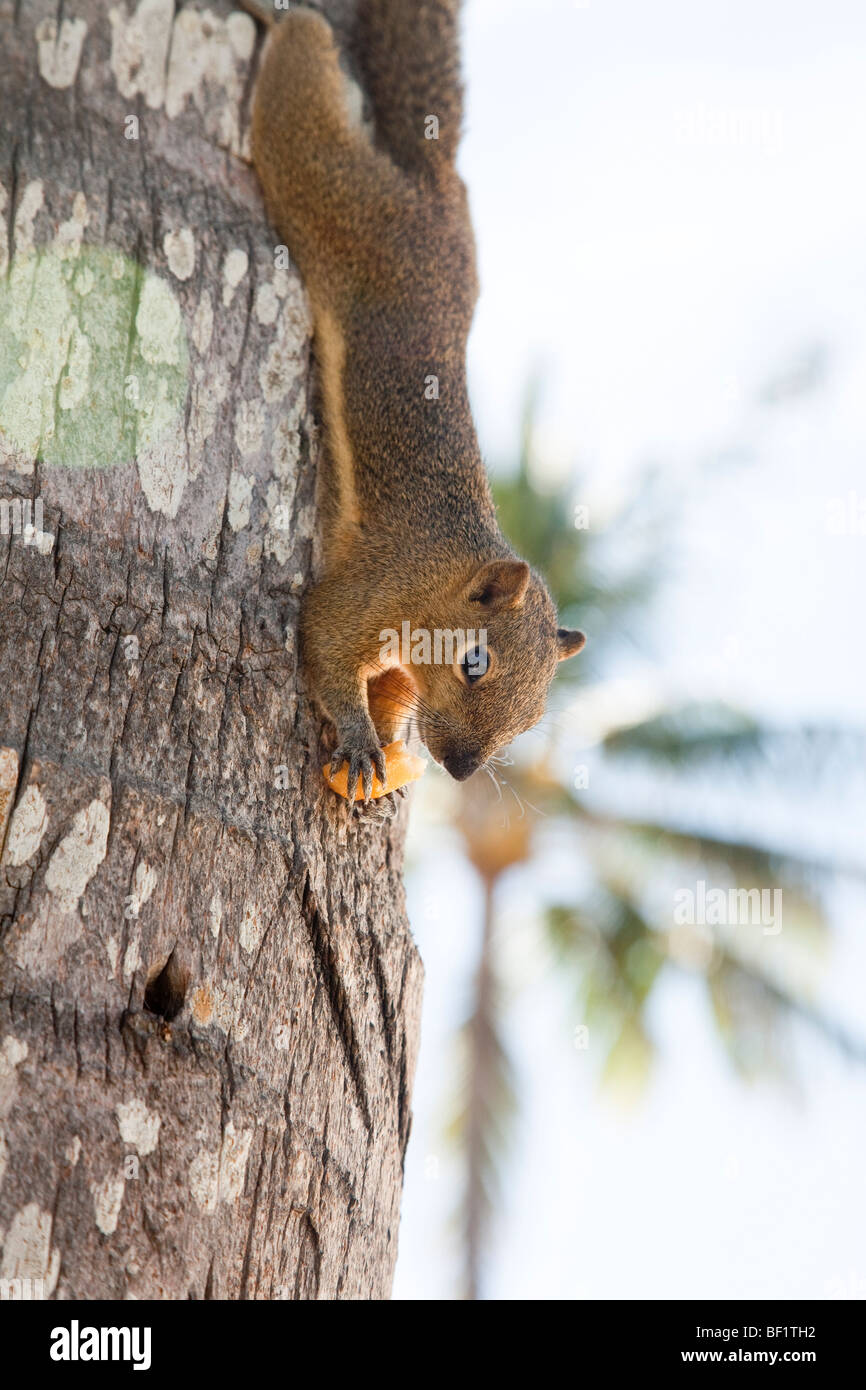 Squirrel upside down hanging on tree bark by his feet, feeding, Bali, Indonesia. (Possibly Pale Giant Squirrel (Ratufa - Stock Image