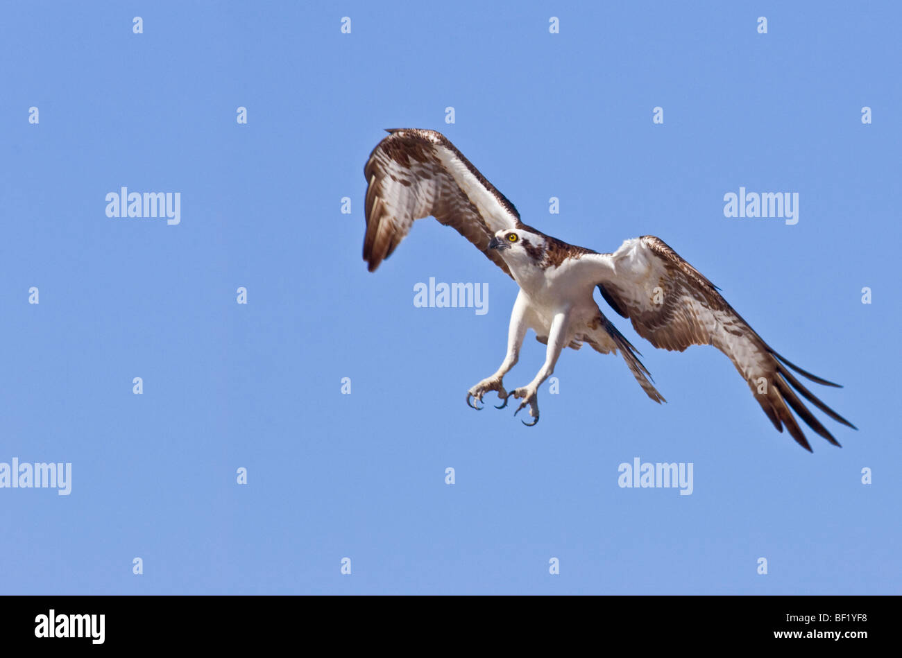 Osprey, Pandion haliaetus, talons spread in attack formation - Stock Image