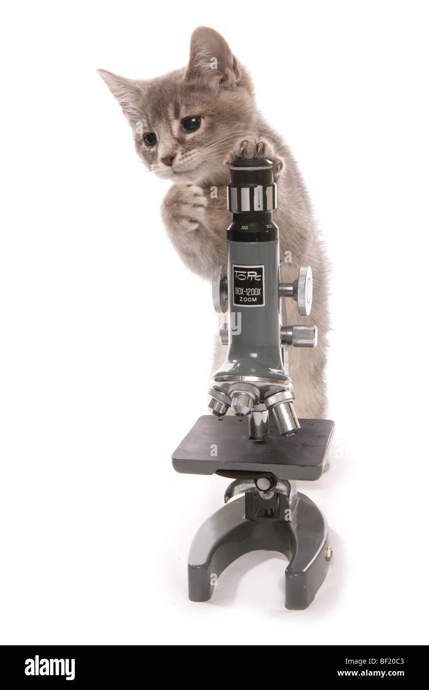 kitten with scientists microscope studio portrait - Stock Image