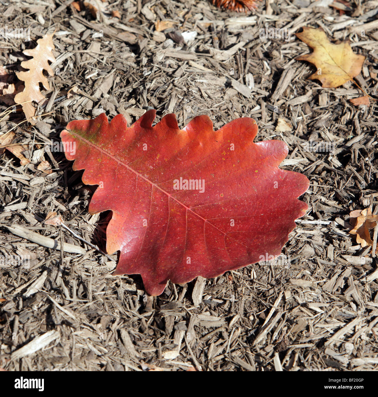 A single large leaf of a Quercus Dentata Emperor Oak Fagaceae Japan Korea China. Laying on bed of mulch. - Stock Image