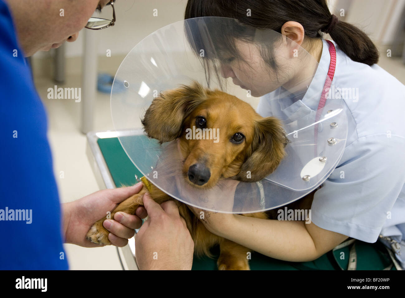 A dachshound dog undergoes a CT scan, at a Japanese veterinary clinic. Stock Photo