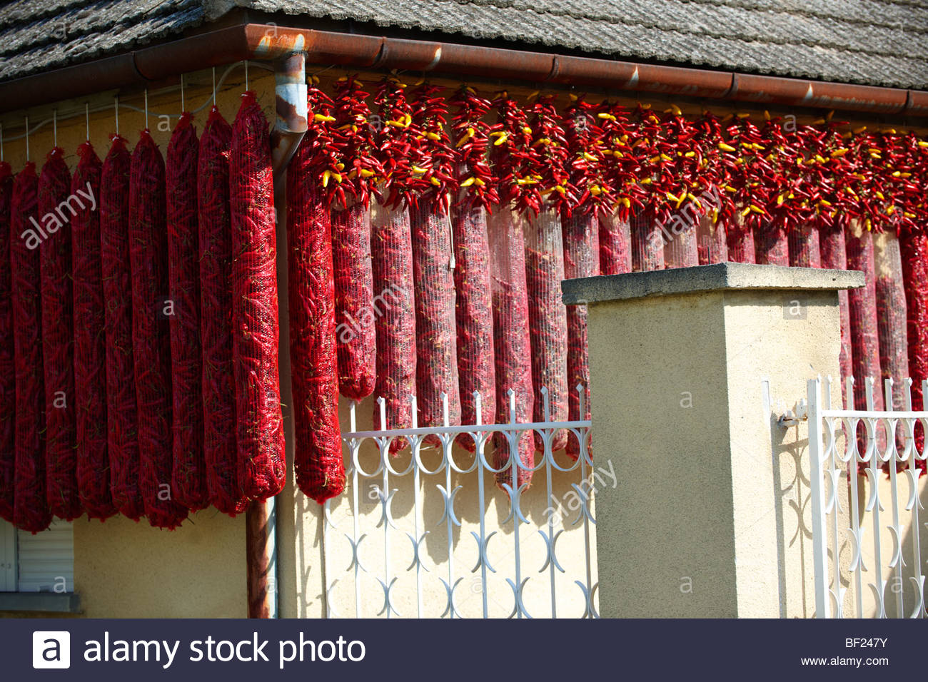 Capsicum annuum or chili peppers drying to make Hungarian paprika - Kalocsa Hungary - Stock Image