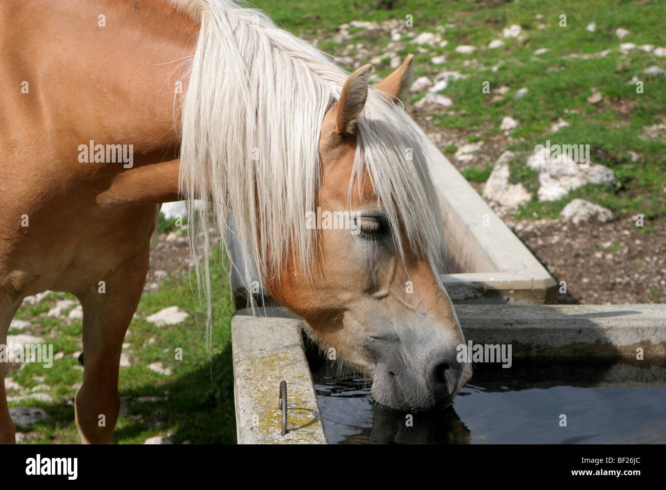 horse in dolomite - thirst Stock Photo